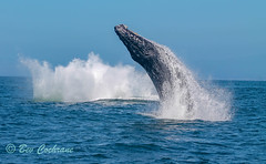 IMG_8877 (b_bev) Tags: montereybay monterey bay california usa wildlife sealife whales dolphins pelicans seals birdlife nature ocean sea