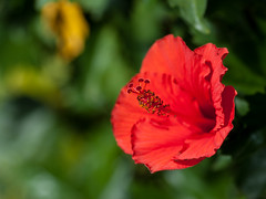 Centre of Attention (fear of light) Tags: hibiscus red flower macro dof bokeh