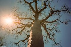 Madagascar (Olympus XA) -000010 (limpinglemur) Tags: baobabtree explorelostcontinenttrip filmscan madagascar october2018 olympusxa zuiko35mmf28 kodakektar100film