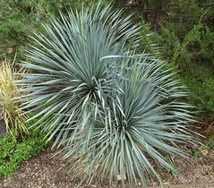 103018-074, Yucca (skw9413) Tags: albuquerquebiopark botanicalgardens yucca