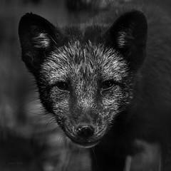 Before winter (Soren Wolf) Tags: arctic fox animal animals canine zoo kraków nikon d7200 300mm close up square short dof looking camera bw black white