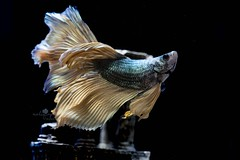Betta (meliafterdark) Tags: fish pet motion fighting fin beauty animal aquatic exotic freshwater nature colourful thailand swimming tropical tail elegant