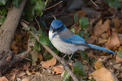 California Scrub-Jay (Laura Erickson) Tags: sanluisobispocounty california reststopbetweenmorrobayandsanluisobispo corvidae birds californiascrubjay species places passeriformes aphelocomacalifornica