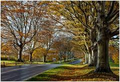 Beech Avenue, Kingston Lacey, Dorset UK (clive_metcalfe) Tags: kingstonlacey nationaltrust estate dorset uk autumn beech badburyrings