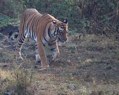 Regal (Nagarjun) Tags: nagarholenationalreserve riverkabini tiger tigress bigcat animal wildlife safari
