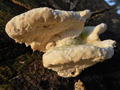 Witte bultzwam - Trametes gibbosa (Alta alatis patent) Tags: gaasterland mushrooms elfbergen beukenlaan wittebultzwam trametesgibbosa