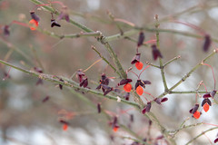 Berries again (Tashata) Tags: macro nature outdoor botanical beautiful bright bokeh berries orange colors closeup cold white winter warmcolors sony sonyrx10iv carlzeiss zeissvariosonnart snow