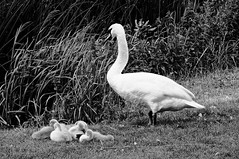 After a busy morning...an afternoon nap for the babies! (MickyFlick) Tags: swan pen cygnets coneygeare eynesbury stneots cambs cambridgeshire england uk riverbank peaceful restful sleeping napping mickyflick monograph blackandwhite bw