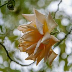 2018 Autumn rose (shinichiro*) Tags: 20181016sdim6159 2018 crazyshin sigmasdquattroh sdqh sigma1770mmf284dcmacrohsm october autumn yokohama 横浜イングリッシュガーデン rose flower macro 45901118532 3966937 201811gettyuploadesp