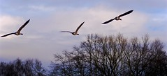 Canada Geese (Leigha Louisee) Tags: birds wildlife nature bird photography canada geese goose flying fly water wetland marsh blue sky