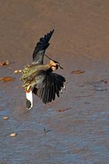 lapwing (DODO 1959) Tags: wildlife lapwing animal nature avian greenplover birds fauna flight water wader landing canon sigma150600mmf563sport 1dmk4 kidwellyquay wales carmarthenshire