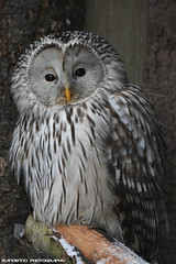 Ural owl - Zoo Veldhoven (Mandenno photography) Tags: animal animals dierenpark dierentuin dieren ngc nature nederland netherlands zoo veldhoven zooveldhoven owl owls ural uralowl bird birds