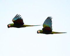 Chestnut-fronted Macaws in Flight (Daniel Beams) Tags: macaw birds birding bolivia santa cruz flight nature wildlife