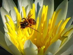 POLLINATING IN PUBLIC (photogtom43) Tags: waterlily bee outdoor daylight pollinate flower insect nikoncoolpixp600