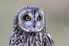 Short Eared Owl (Simon Stobart) Tags: short eared owl asio flammeus portrait north east england uk perched closeup ngc npc