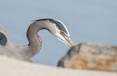 Blue Heron (denis_hehman) Tags: heron delaware delmarva feeding coastal bay rehoboth 150600 wetlands inland indian river longneck sussex county d500