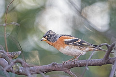 Brambling  Fringilla montifringilla (Stuart Carlton) Tags: brambling fringillamontifringilla birds finches migrants garden nottinghamshire canon500mmf4 7d2