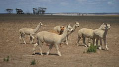 Onzième photo (kat mandou 22Pes) Tags: lakegrace westernaustralia australie australia alpaga alpaca vicugnapacos