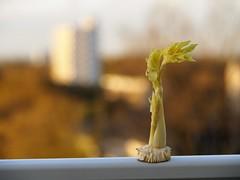 Staudensellerie (Dirk Stenzel) Tags: olympus pen epl7 14150 herne hernesüd sunnyday sunny staudensellerie sellerie celery veggie