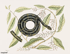 Eastern King Snake (Frutex Anguis Annulatus) from The natural history of Carolina, Florida, and the Bahama Islands (1754) by Mark Catesby (1683-1749).
