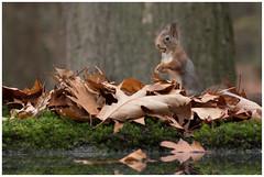 Red Squirrel - Eekhoorn (Sciurus vulgaris) ..... (Martha de Jong-Lantink) Tags: 2018 boshutclinge clinge eekhoorn gewoneeekhoorn redsquirrel rodeeekhoorn sciurusvulgaris stichtinghetzeeuwselandschap zeeland je