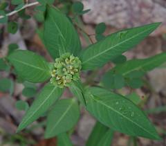 Euphorbia heterophylla, Townsville, QLD, 14/11/18