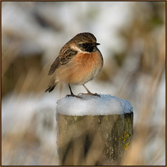 Stonechat (image 1 of 2) (Full Moon Images) Tags: wicken fen burwell nt national trust wildlife nature reserve cambridgeshire bird winter snow ice stonechat