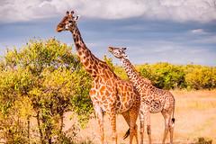 Masai Giraffe, Maasai Mara (Ray in Manila) Tags: kenya maasaimara africa animal beautiful eos650d efs55250mm fauna grass landscape mammal nationalpark nature naturalworld equator riftvalley savanna safari scenic tropical trees animalia animals chordata mammalia artiodactyl giriffidae giraffa giraffe masaigiraffe giraffacamelopardalistippelskirchii mara