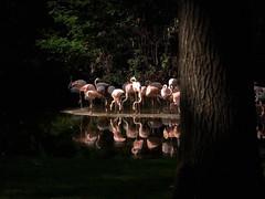 Flamingos (Rolf Piepenbring) Tags: flamingo flamingos phoenicopteridae chileanflamingo chileenseflamingo