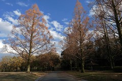 metasequoia (ababhastopographer) Tags: osaka senri park cloud sky ray expo70commemorativepark metasequoiaglyptostroboides afternoon 大阪 千里 万博記念公園 earlywinter 初冬 午後 メタセコイア