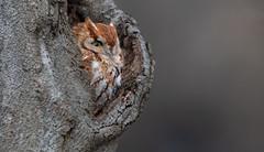Eastern Screech Owl (Jesse_in_CT) Tags: easternscreechowl owl nikon