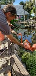 Feeding flamingos