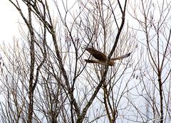Fly High White (esimagecapture) Tags: white highkey hawk bird washington reserve refuge ridgefiled nature nikon d7200 ericsteele photography