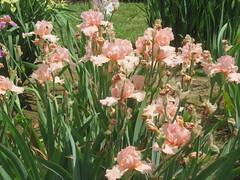Irises 2 (D. S. Hałas) Tags: halas hałas canada ontario haltonregion wentworthcounty burlington aldershot royalbotanicalgardens botanicalgarden lakinggarden magnoliophyta liliopsida asparagales iridaceae iris flower