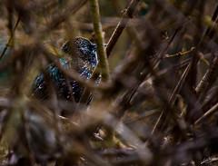electric bird (esimagecapture) Tags: bird nyc central park manhattan new york city birds small black blue green purple cool electric nikon d7200 ericsteele photography