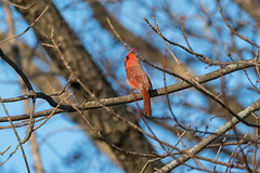 Cardinal (matthewthecoolguy) Tags: red brown blue bird cardinal wisconsin wildlife nature sony sonyalpha