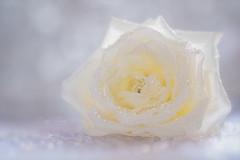 Fade (Inky-NL) Tags: ingridsiemons©2019 flower rose roses drops waterdroplets white bokeh highkey naturallight roos bloem fujixt2 fuji60mmf24 macro closeup
