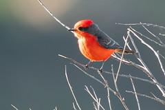 Vermilion Flycatcher 0686 (maguire33@verizon.net) Tags: pradoregionalpark pyrocephalusrubinus vermilionflycatcher bird flycatcher male wildlife chino california unitedstatesofamerica us