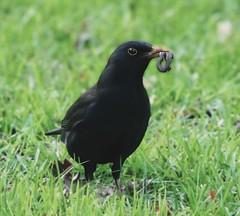 Bringing Home Supper (mayderblite) Tags: black green grass wildlife nature beautiful worm bird blackbird