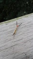 White-marked Tussock Caterpillar (Orgyia leucostigma) (JHousePhotos) Tags: arkansas moths erebidae caterpillars