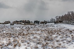 Group of winter horses (Shigeo Kameshima) Tags: horse ranch agriculture winter snow bait power big tourism coach carriage happyplanet asiafavorites