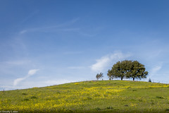 Simply Beautiful (allentimothy1947) Tags: california sonomacounty agriculture blue grass green hardinln l land landscape meadow mustard pasture pature rural sky trees farm clouds beauty oak tree field yellow gree white