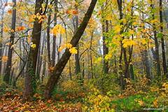 Autumn in the forest (JSB PHOTOGRAPHS) Tags: jsb1138 copy autumn forest nikon willametteriver altonbakerpark eugeneoregon d3 28300mm trees leaves 2018 fog