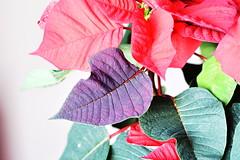 DSC_2268 Poinsettia (PeaTJay) Tags: nikond750 sigma reading lowerearley berkshire macro micro closeups gardens indoors nature flora fauna plants flowers poinsettia