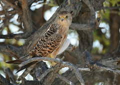 Greater Kestrel (anacm.silva) Tags: greaterkestrel kestrel ave bird rapina wild wildlife nature natureza naturaleza africa namibia aves birds etosha etoshanationalpark namíbia áfrica birdofprey peneireiro falcorupicoloides ngc specanimal coth5