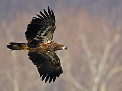 Juvenile Bald Eagle (Brian E Kushner) Tags: american baldeagle bald eagle fish fishing raptor wings talon beak king flying flight inflight haliaeetusleucocephalus conowingo dam conowingodam darlington md maryland d850 nikond850 bird birds bkushner wildlife animals birdwatcher ©brianekushner nikonafsnikkor500mmf56epfedvrlens nikon afs nikkor 500mm f56e pf ed vr lens juvenile