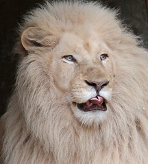 african white lion Ouwehands 094A0036 (j.a.kok) Tags: whitelion witteleeuw leeuw lion africa afrika afrikaanseleeuw africanlion afrikaansewitteleeuw africanwhitelion animal mammal zoogdier dier predator ouwehands ouwehandsdierenpark ouwehand credo pantheraleoleo timbavati