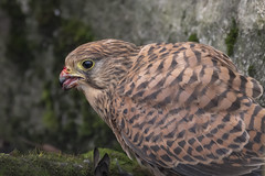 Kestrel-' Feeding Time' (cazalegg) Tags: kestrel nikon prey raptor garden forest wildlife nature