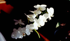 orchid (bluebird87) Tags: orchid dxo c41 epson v800 lightroom film kodak ektar nikon f4