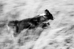 On Bagworth Heath (Captain192) Tags: dog dogs collie spaniel spanielcolliecross bordercollie sprollie running grass longgrass bagworth bagworthheath nationalforest leicestershire heaths grassland bw